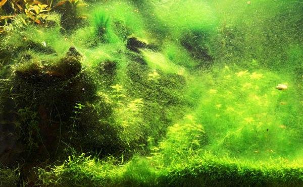Почему появляется зелень на стенках аквариума